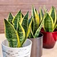 Sansevieria trifasciata Laurentii Variegated Snake Plant in the pot close up photo
