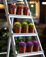 Colorful cactuses in the showcase photo