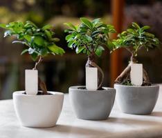 Ginkgo Bonsai Tree in the pots photo
