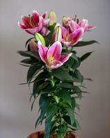 planta de flor de lirio púrpura stargazer cerrar foto