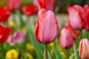 beautiful pink tulips in the garden in spring season photo