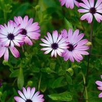 beautiful pink flowers in the garden in spring season photo