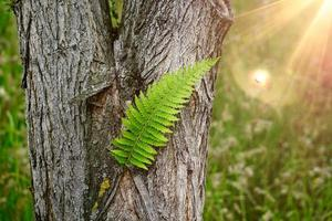 beautiful green fern leaf in the nature in spring season photo