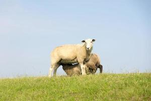 Mammal sheep on a dyke in front of blue sky photo