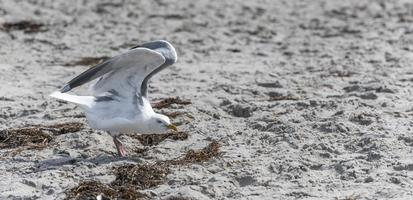 White Herring Gull flies over sandy beach of the Baltic Sea with waves photo