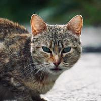 beautiful grey stray cat portrait photo