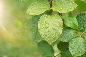 raindrops on the green plant leaves in rainy days photo