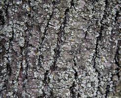 Fondo de textura de la corteza marrón de un árbol foto