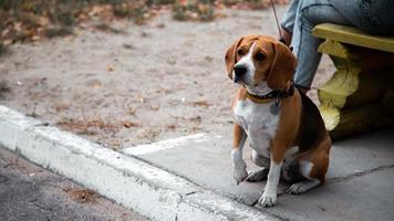 Una persona que camina con un perro beagle en el parque de verano. foto