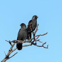 Dos grajillas se sientan en una rama contra un cielo azul foto
