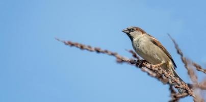 little sparrow male is looking interested sitting on a branch in front of blue sky photo