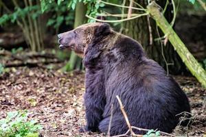 Un oso negro se sienta en el suelo frente a un bosque. foto
