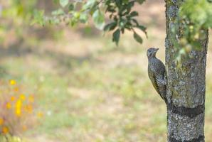 Young green woodpecker on a tree trunk against colorful background photo