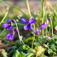Cerca de marzo en flor violetas entre briznas de hierba y flores pequeñas foto