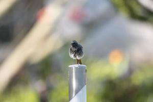 Fluffed up redstart sits on a metal post against a blurred background with copy space photo