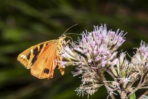 Polilla oso pardo sobre una flor brillante mientras come néctar foto