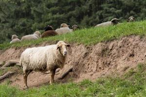A white sheep stands in a meadow in front of a slope photo