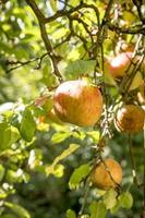Ripe apple hangs in a sunlit tree with blurred background photo