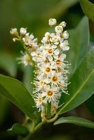 Foto macro de una flor de laurel laurocerasus cerezo