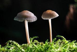 Foto de dos brillantes setas Helmling mycena creciendo en el musgo