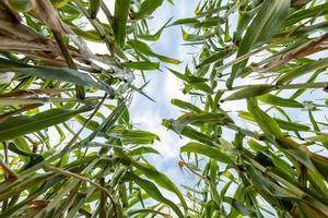 Vista inferior de las plantas de maíz maduras en un campo con cielos nublados foto