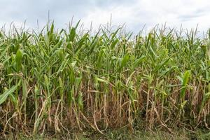 Plantas de maíz maduras cultivadas en filas en un campo con un cielo nublado foto