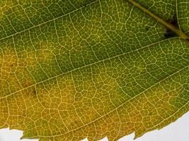 Underside of a translucent autumnal leaf in different shades photo