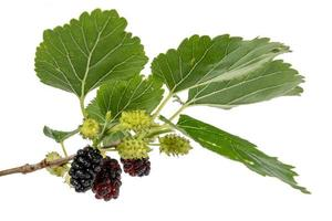 Mulberries in different maturity levels hang on the branches photo