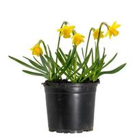 small blooming yellow daffodils in a plant pot photo