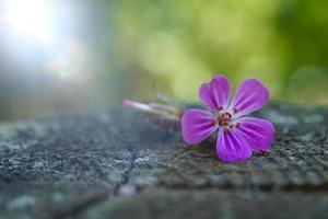flor rosa romántica en la naturaleza en la temporada de primavera foto