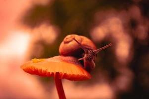 Caracol burdeos al atardecer en colores rojo oscuro y en un entorno natural foto