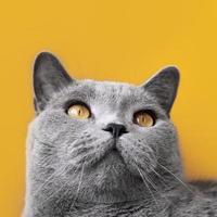 gatito gris con pared monocromática detrás de ella foto