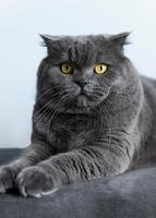 Adorable british shorthair kitty with monochrome wall behind her photo