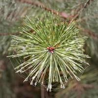 View from above on a young shoot a pine tree with dew drops photo