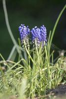 Blue grape hyacinths with green stems and grass against a green background photo