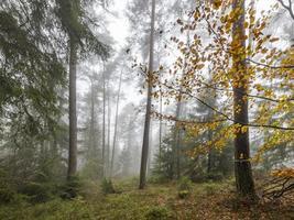 bosque en la niebla con pinos árboles de hoja caduca y abetos suelo cubierto de musgo y helechos foto