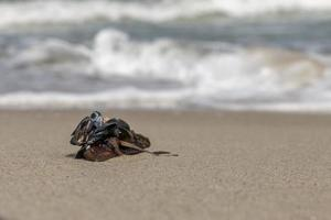 Several small black shells are piled together on a sandy beach with blurred waves photo