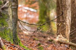 Autumn beech forest with a great tit on a branch against a blurred background photo
