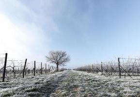 vides de uva y nogal en las heladas foto