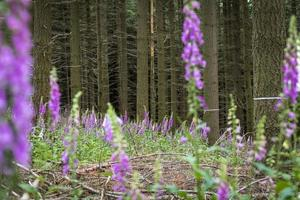 Blooming Red Foxglove in the forest among coniferous trees photo