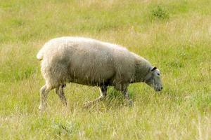 Sheep on a dyke in front of green grass photo