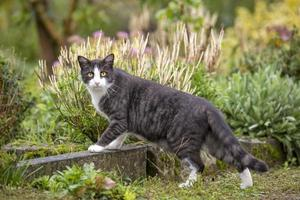 Black white domestic cat with yellow eyes in a garden photo