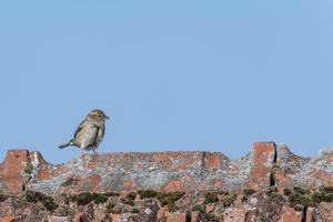 sparrow walks over a roof ridge with copy space photo
