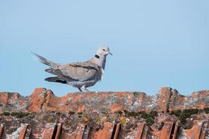 Ringdove walks over a roof ridge with copy space photo
