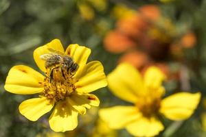 Soft drawn honeybee on a yellow blossom against blurred green background photo