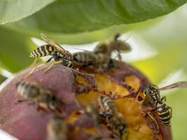 Bees and wasps sit on a ripened ripe peach photo