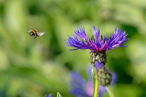 Aciano con abejorro volador delante de un fondo borroso verde foto