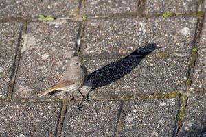 Redstart with shadow stands on a cobbled street photo
