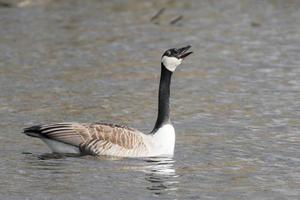 Canada goose is swimming and screaming on a lake photo