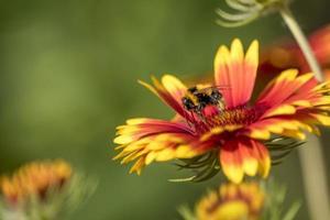 Abejorro en una flor de aster aislado contra el fondo verde borroso foto